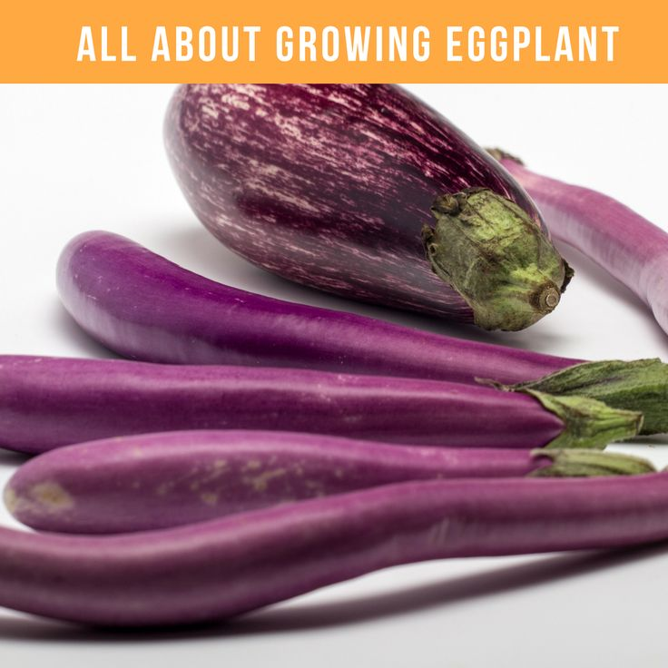 Learn all about growing eggplant, including the best eggplant varieties, how to prevent pests, growing eggplant in containers and simple tips for cooking baba ghanouj and caponata.