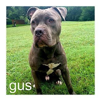 Pictures of Gus a Staffordshire Bull Terrier/American Pit Bull Terrier Mix for adoption in Dallas, TX who needs a loving home.