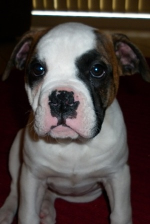 """Paris as a 12 and a half week old puppy. She is an Australian Bulldog."""