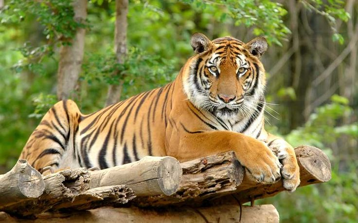 bengal tiger | Bengal Tiger - Tiger Facts and Information
