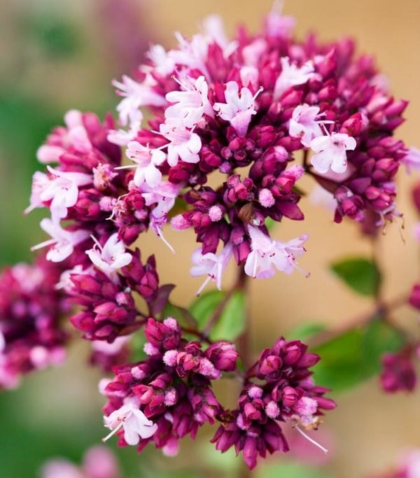 Valued for its showy clusters of small, violet-red flowers and its fabulous foliage display, purple-flushed with dark plum veins, Origanum 'Rosenkuppel', commonly known as Marjoram or Ornamental Oregano, is a pretty addition to the garden