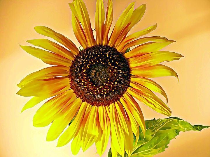 sunflower, nature