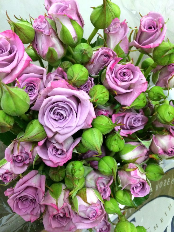 The gallery for --> Lavender Spray Rose