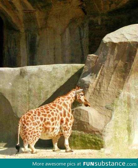 Midget Giraffe - My new favorite animal!