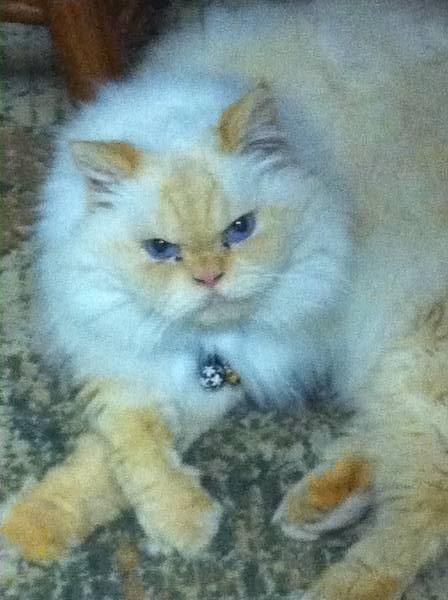 My persian cat is missing