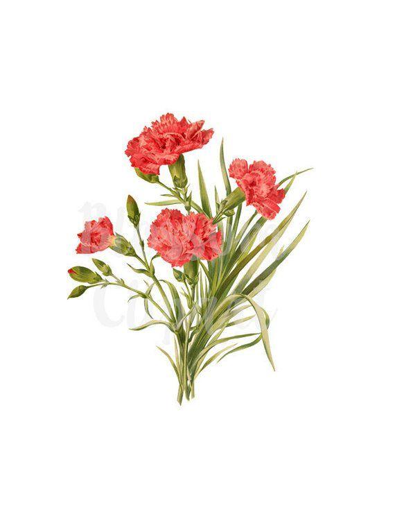 Carnation Pink Flowers Digital Download Vintage Illustration Etsy Vintage Illustration Background Images Pink Flowers