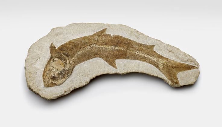 Fossil from  Brazil. Museon Den Haag