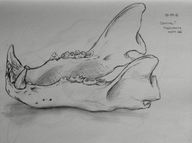 Canine skull