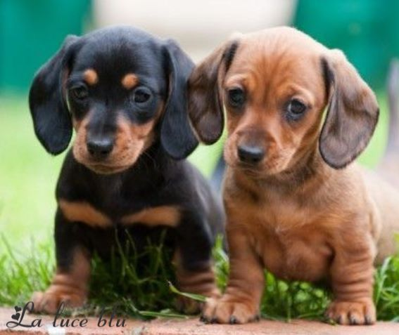 Soooo Adorable Dachshund Puppies Cute Dogs Dogs Puppies