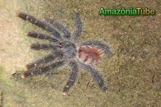 ..... Amazoniatube: ARANHA CARANGUEJEIRA (bird catching spider)