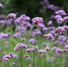 Lilac-purple flowers