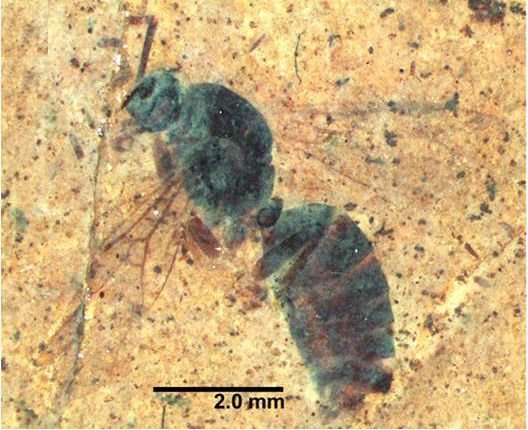 A Fossilized Ancient Ant Queen Emerges From a 46-Million-Year-Old Rock