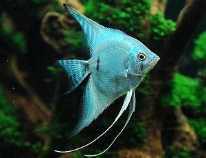 blue angelfish - always wanted to try some angelfish, but they do grow fairly large (vertically) and are known to be pretty aggressive