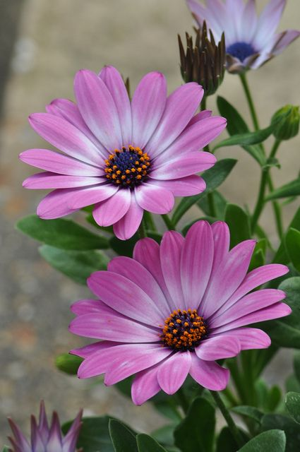 ~~Last one! ~ Pink Daisies by Sue @Veronica Ryczko~~
