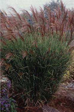 17 best images about ornamental grass on pinterest for Ornamental grasses that grow tall