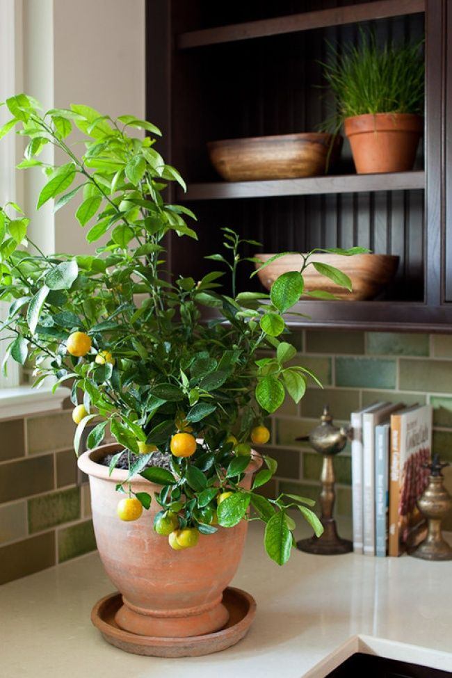 The lemon tree is a wonderful plant in all respects. When it flowers, it fills the air with a magnificent citrus smell, and at the same time it absorbs excess moisture from it. Its leaves provide a huge number of curative substances, sterilizing the space around it. The lemon tree loves being bathed in sunlight, regular watering, and dry soil.