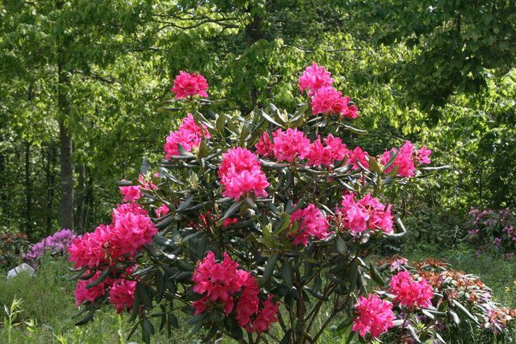 rhododendron nova zembla evergreen shrub healthy for. Black Bedroom Furniture Sets. Home Design Ideas