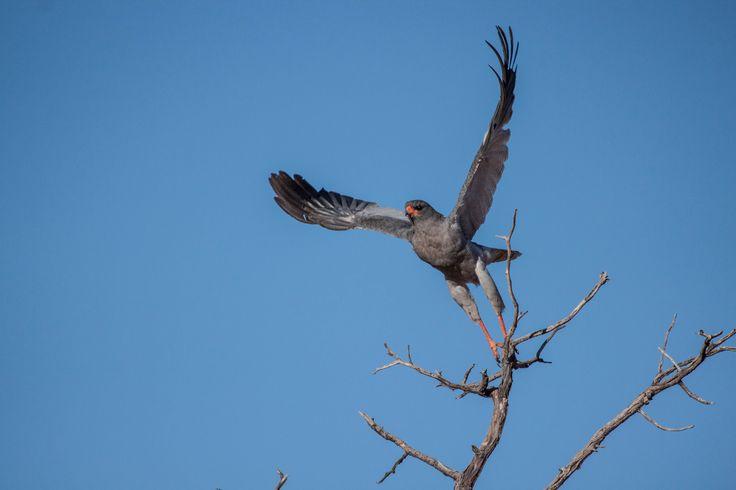 Pale chanting goshawk at Tswalu Kalahari