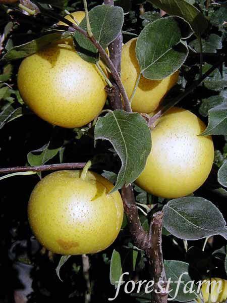 Think, that Asian pear nursery think