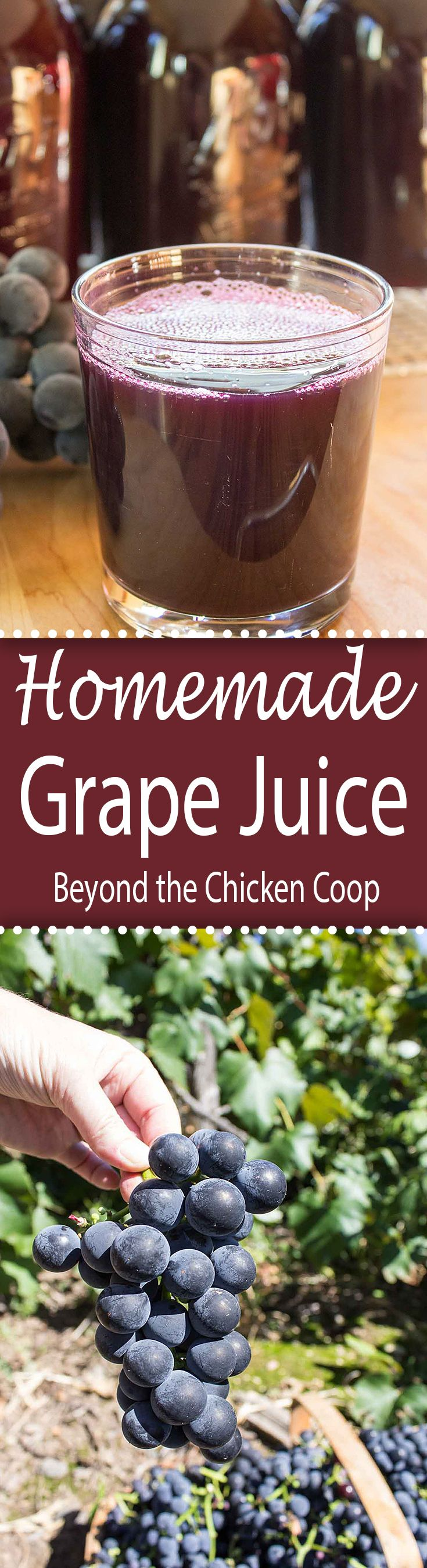 Fresh picked Concord grapes made into homemade grape juice using a steam juicer.