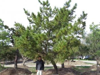 japanese black pine tree growth rate - Google Search