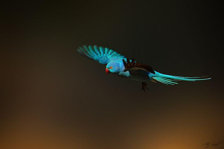 pretty parrot: Animal Pictures, Blue, Parakeets Blu Mutat, Roser Parakeetblu, Atif Saeed, Rose Rings Parakeets Blu, Parakeetblu Mutat, Roser Parakeets, Photo