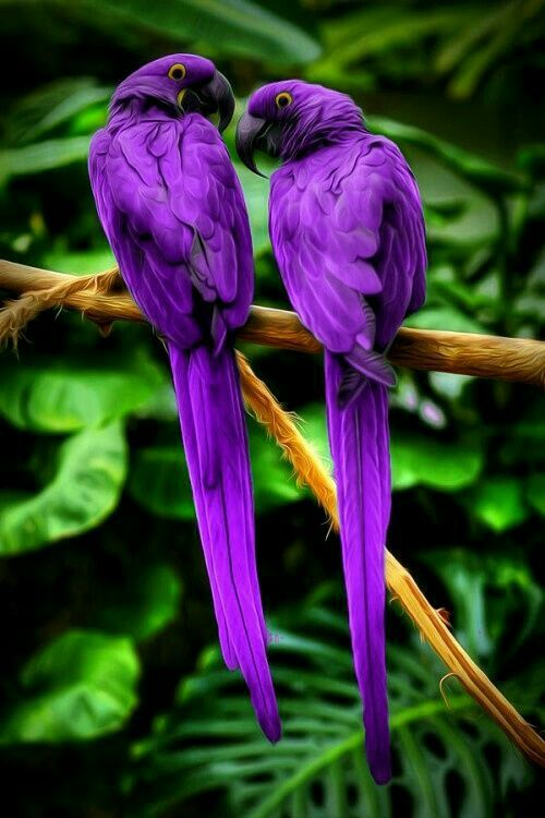 Purple plumage on these tropical parrots.