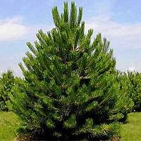 Austrian Pine Trees | Buy Online at Nature Hills Nursery