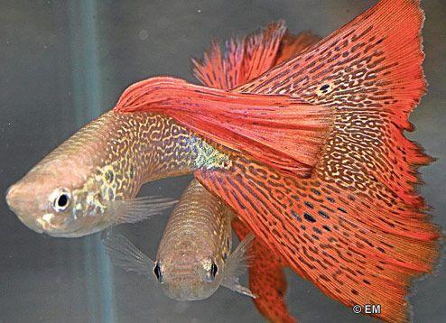 аквариумные рыбки фото и название-картинки: 20 тыс изображений найдено в Яндекс.Картинках