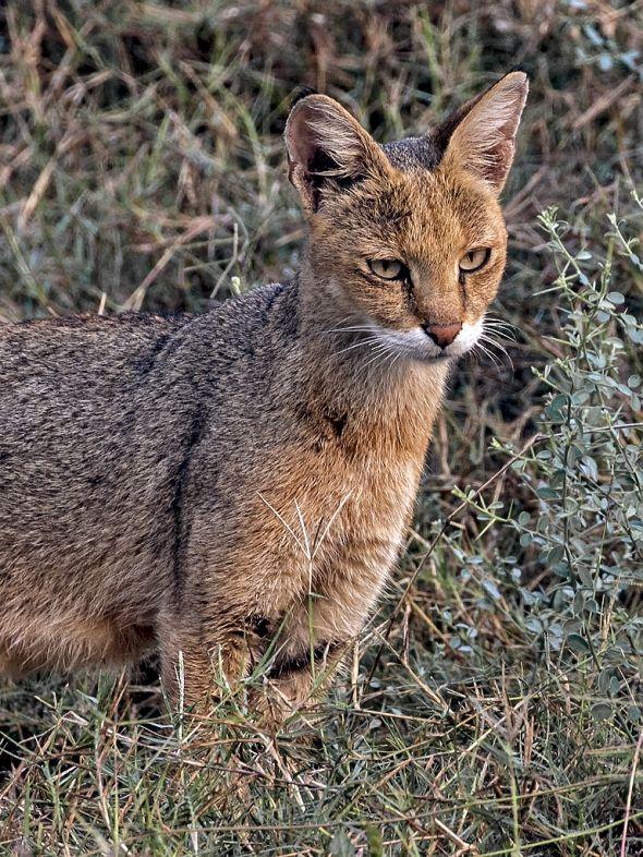 Hunting Jungle Cat
