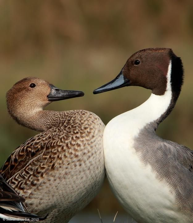 Northern Pintail (Anas acuta) A pair. So cute!