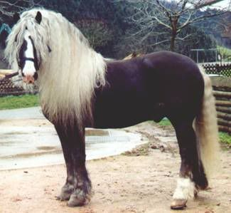 Schwarzwälder Kaltblut, rare draft horse breed originating in southern Germany.