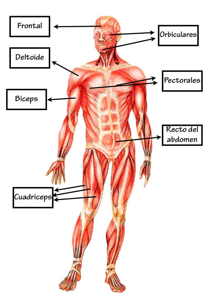 Increíble Nombres Musculares Cuerpo Molde - Imágenes de Anatomía ...