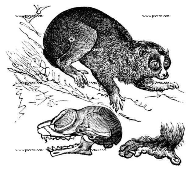 http://www.photaki.com/picture-bengal-slow-loris-or-nycticebus-bengalensis-vintage-engraving_1330118.htm