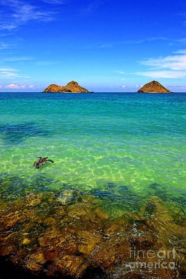 Lanikai Beach Sea Turtle, Oahu, Hawaii
