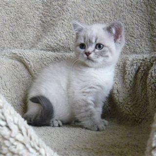 British Shorthair Colourpoint Kitten