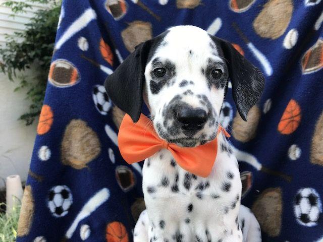 Dalmatian puppy for sale in QUARRYVILLE, PA. ADN-42613 on PuppyFinder.com Gender: Male. Age: 7 Weeks Old