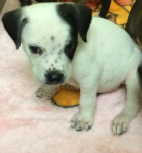 ADOPTED!!  Panama City, FL - Meet Helen, Female, Spayed, 2 months old, Bulldog Mix - White/Black, looking for a forever home. She is LOCATED at the Humane Society of Bay County, Panama City, FL