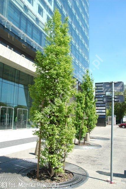 dąb szypułkowy 'Fastigiata' - Quercus robur 'Fastigiata' | Katalog roślin - e-katalog roślin
