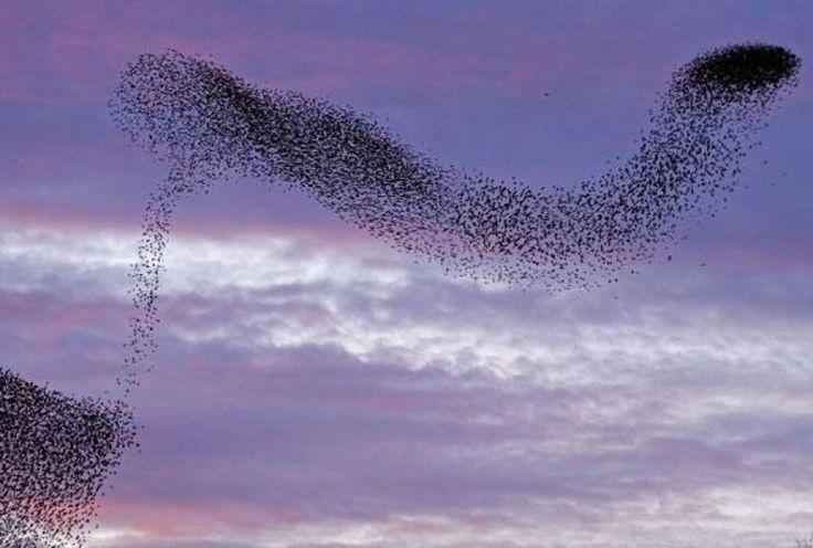 Hoe vliegen vogels in zwermen? | Radio 1