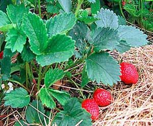 Strawberry Companion Planting: Danger! - Verticillium-Susceptible Species  The most common of these plants are tomatoes, potatoes, eggplant, and peppers. If these plants (or melons, okra, mint, bush or bramble fruits, stone fruits, chrysanthemums, and roses) have been grown in the same spot recently (within 5 years), it is best to grow your strawberry plants elsewhere.  Otherwise, the strawberry plants may be infected and die themselves.