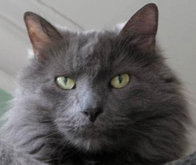 Nebelung breed- looks just like my Ellie!