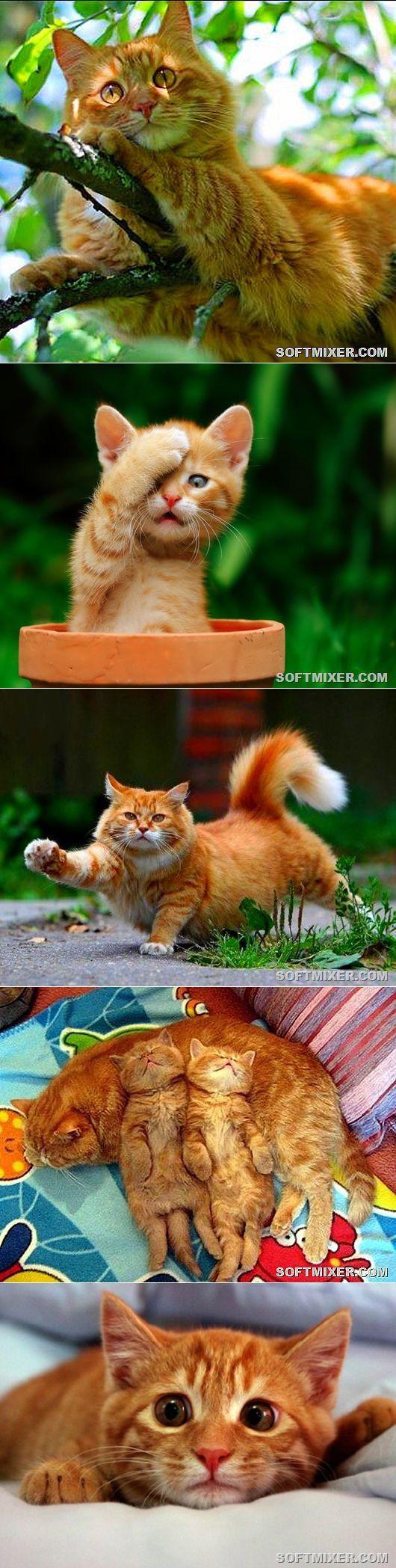 Рыжий кот - примета счастья | Уши, лапы, хвост