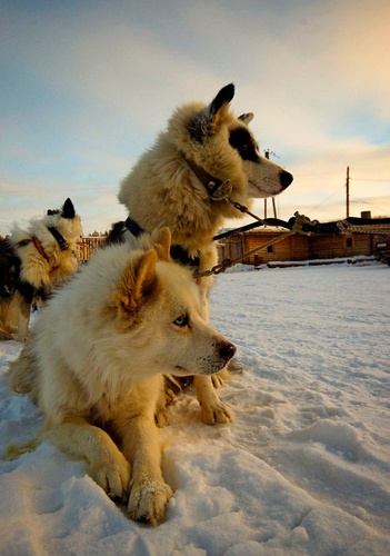 Dog sledding in the Siberian taiga, Yakutia, Russia. Photo by Ajar Varlamov.