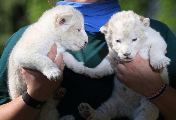 """Seltenheit: Zwei weiße Löwenbabys sind im Magdeburger Zoo zum ersten Mal öffentlich vorgestellt worden. """"In ganz Europa gibt es nur 70 weiße Löwen"""", sagte Zoodirektor Kai Perret am Freitag. Mehr Bilder des Tages auf: http://www.nachrichten.at/nachrichten/bilder_des_tages/ (Bild: dpa)"""