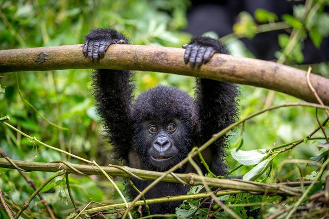 Gorilla Trekking in Uganda on Budget with Katona Tours and Travel