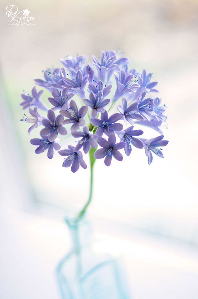 agapanthus4 | by dkdesigns