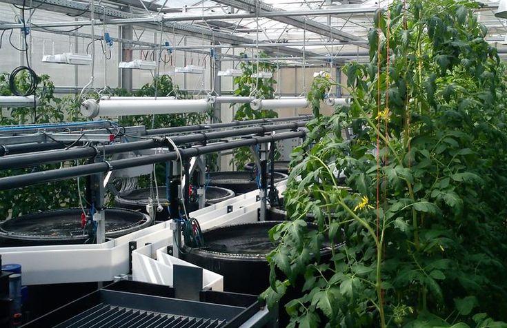 Zukunftstechnologie Aquaponik: Tomatenfisch springt in internationale Gewässer