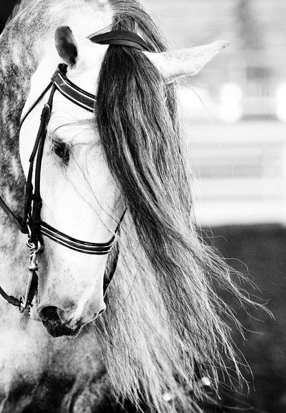 Andalusian Horse..love this Breed! lucky enough to ride them in Portugal...