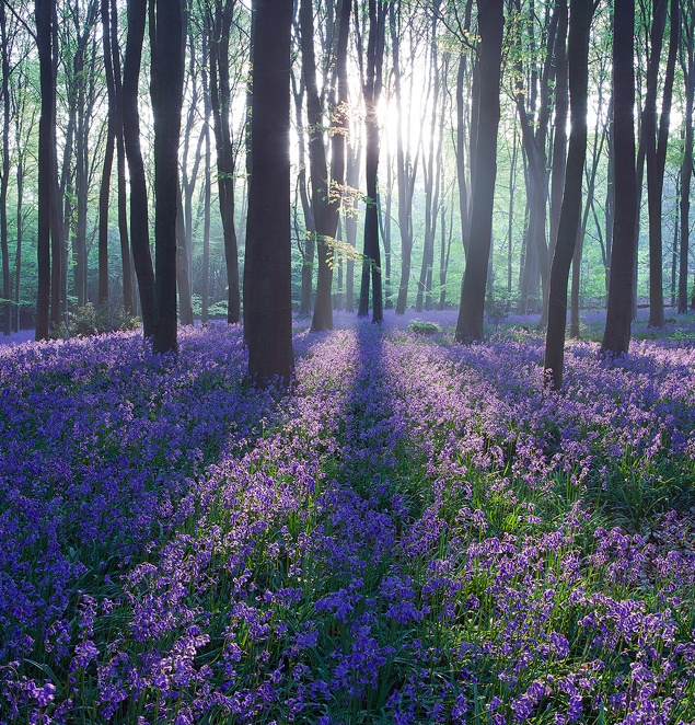 Bluebell sunrise / Micheldever Woods, Hampshire, UK. By Antony Spencer.